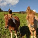 Pferde am Attersee